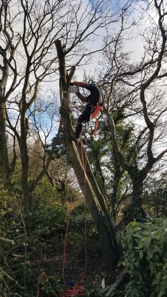 Poullan-sur-Mer, débitage d'un arbre. démontage du tronc