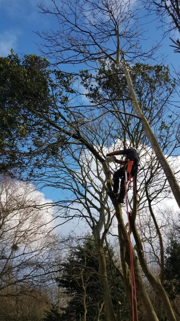 Poullan-sur-Mer, débitage d'un arbre. Envoi du houppier