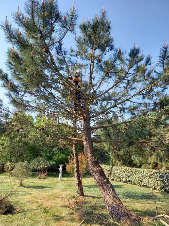 coups de vent dans le pin